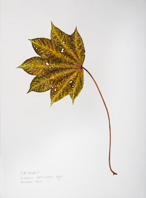 <em>Kalopanex Septemlobus Leaf</em>, 2015, Watercolor/Paper, 30 x 22""