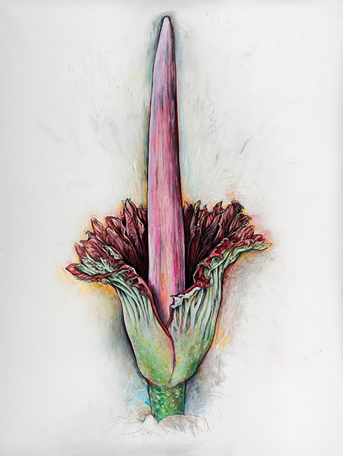 <em>Amorphophallus titanum</em>, 2017, ink, graphite, colored pencil on drafting film, 55 x 42""